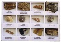 Fossils, Geologic Time, Item Number 077020