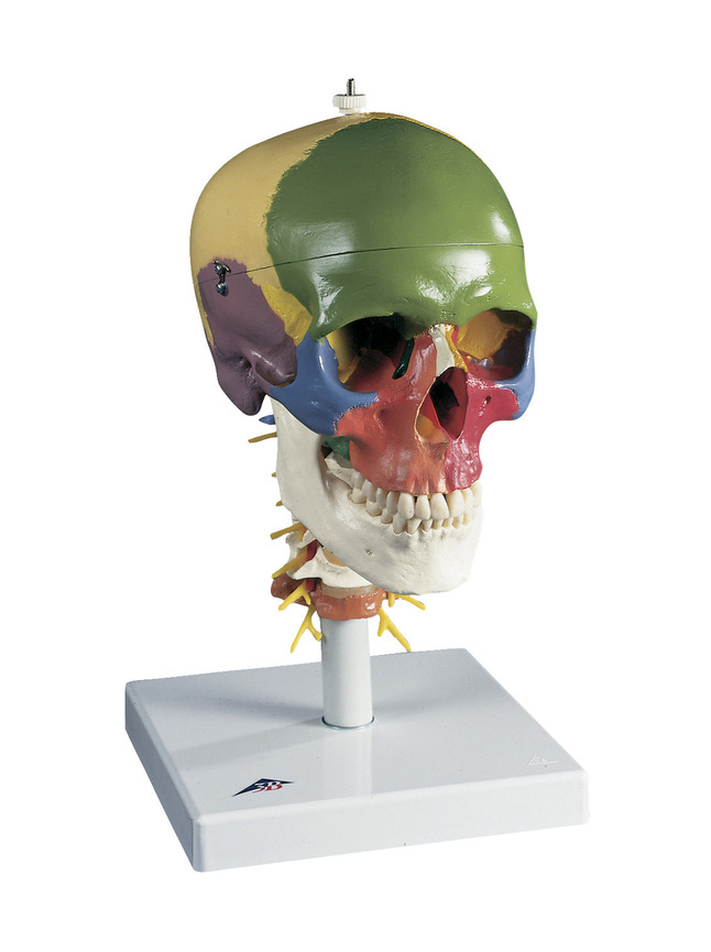 Lab and Anatomical Models, Item Number 1319463