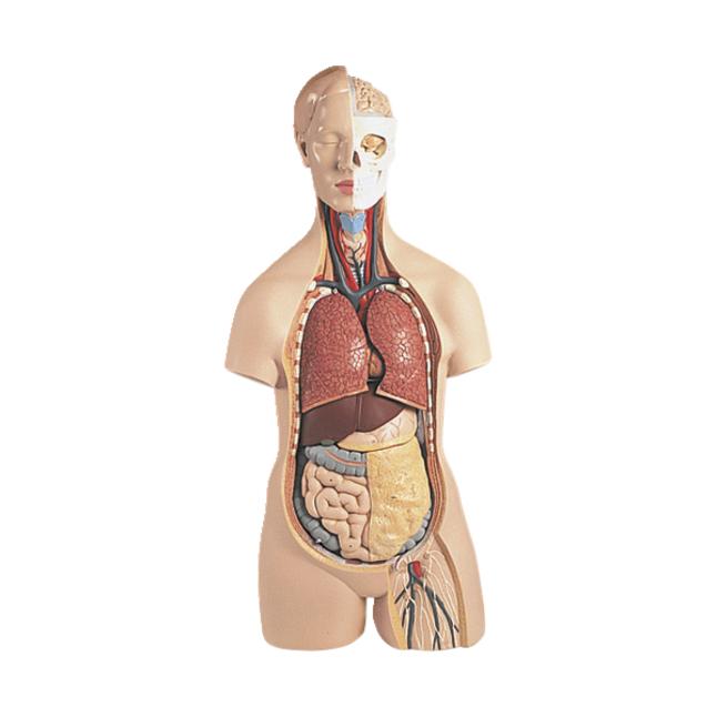 Lab and Anatomical Models, Item Number 1319476