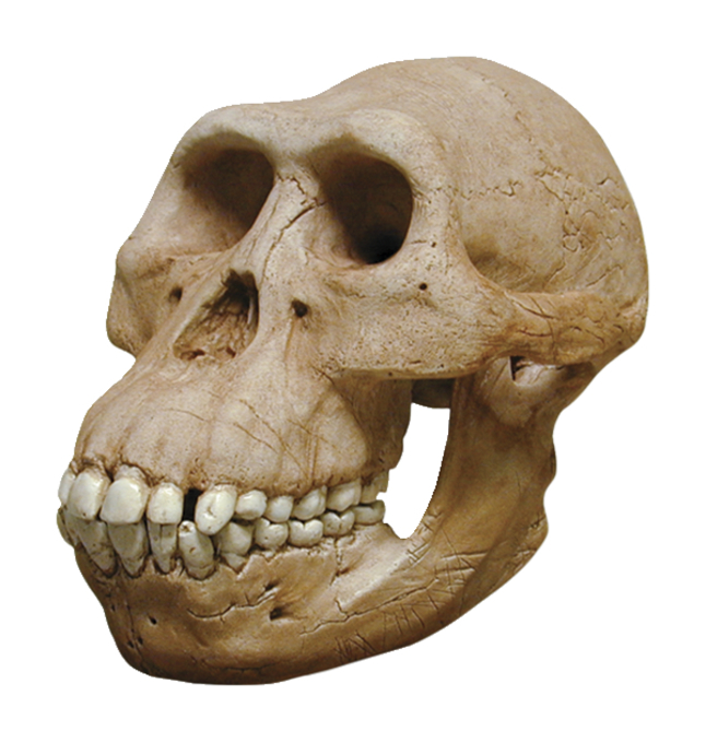 Skullduggery Hominid Skull, Australopithecus Afarensis Skull