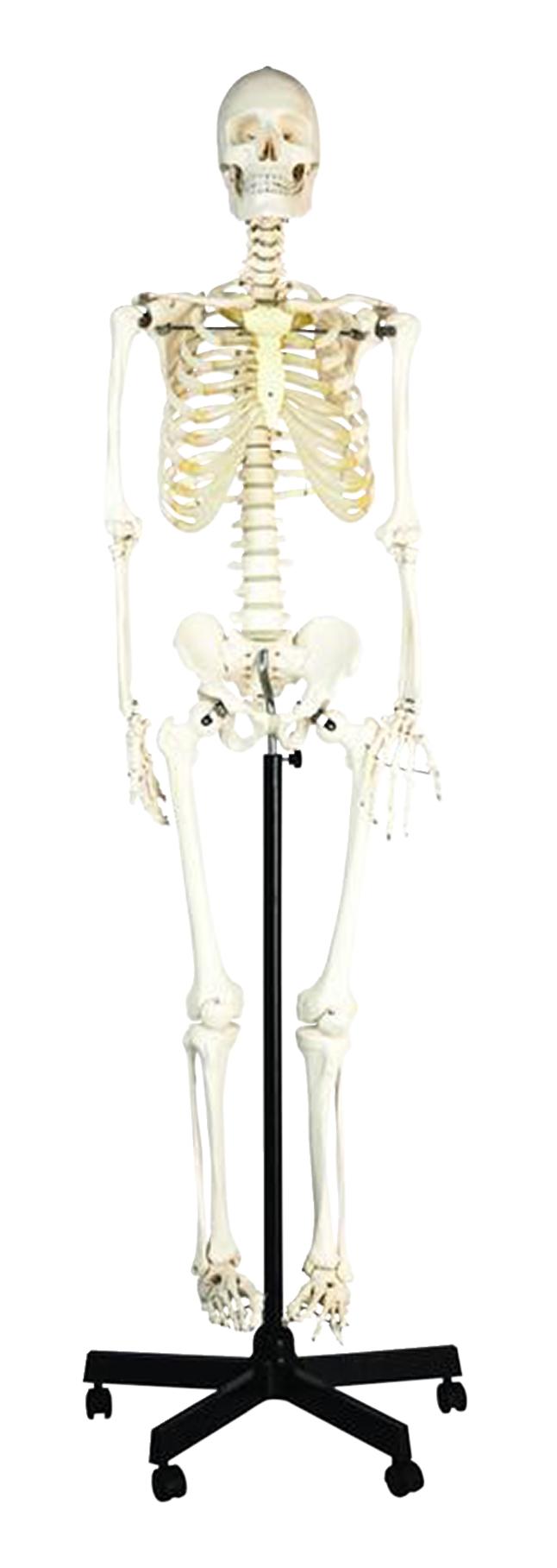 Lab and Anatomical Models, Item Number 1457400