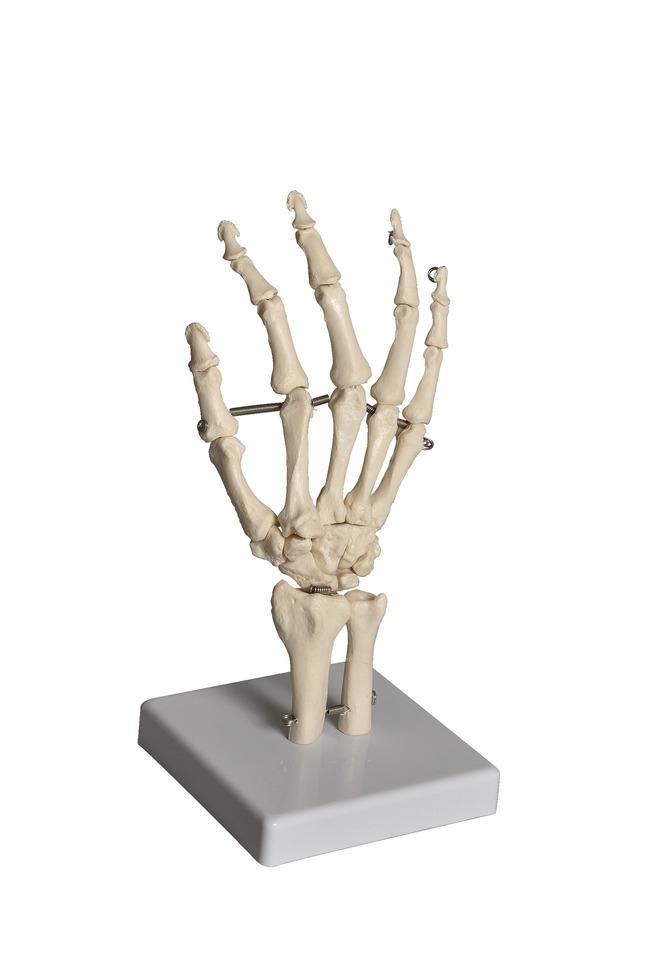 Lab and Anatomical Models, Item Number 1488765