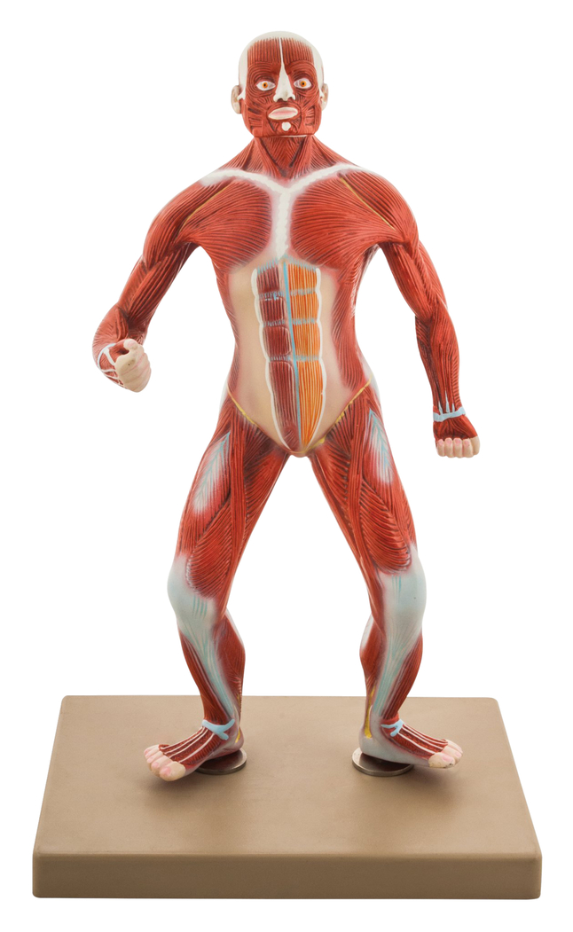 Lab and Anatomical Models, Item Number 2006682