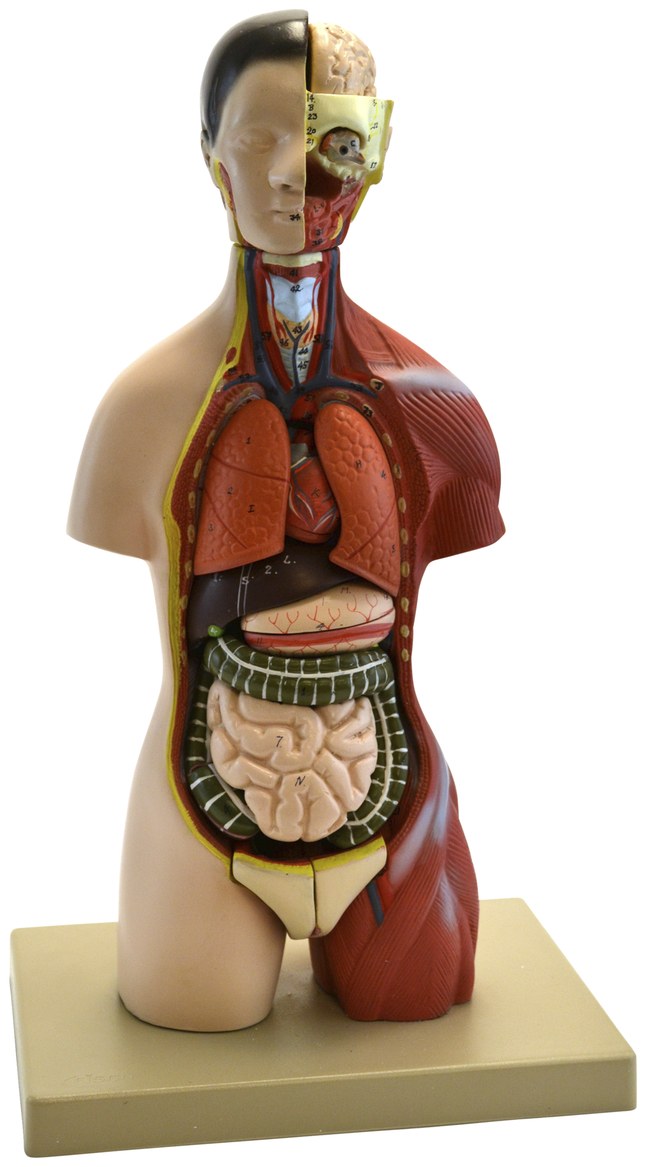 Lab and Anatomical Models, Item Number 2011708