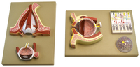 Lab and Anatomical Models, Item Number 2011709