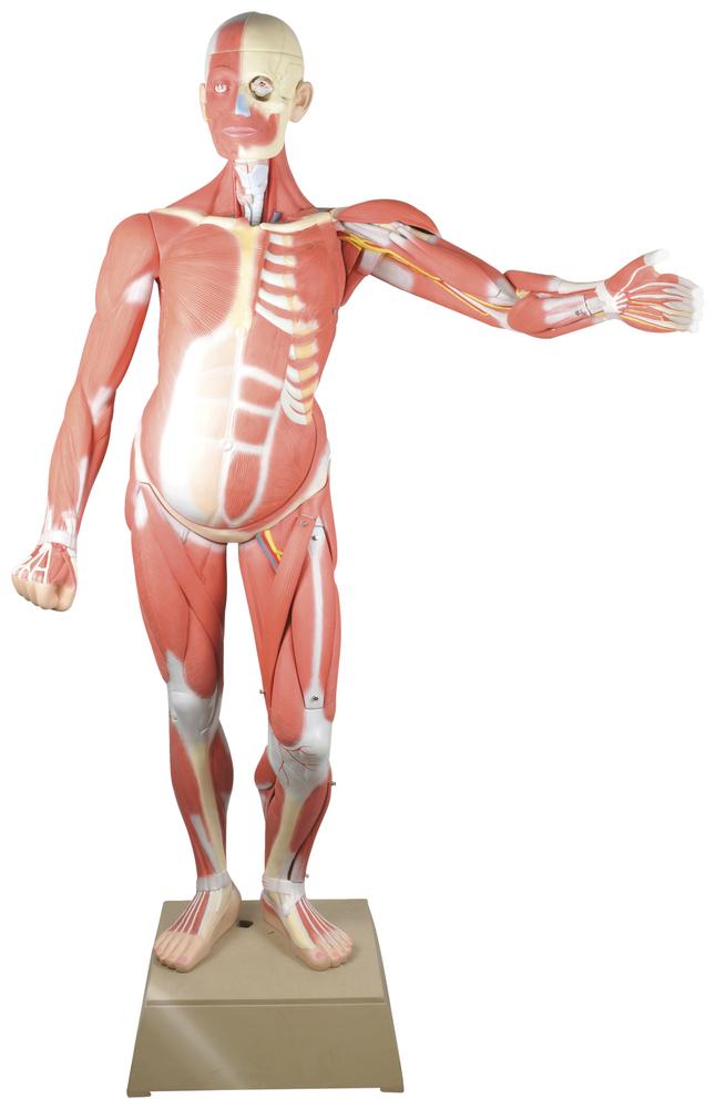 Lab and Anatomical Models, Item Number 2011710
