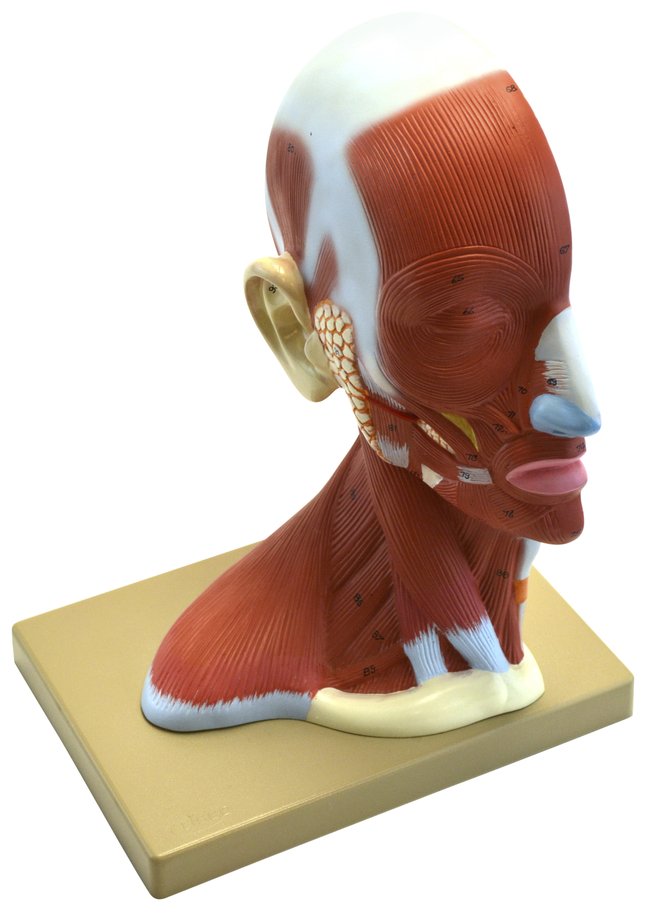 Lab and Anatomical Models, Item Number 2011711