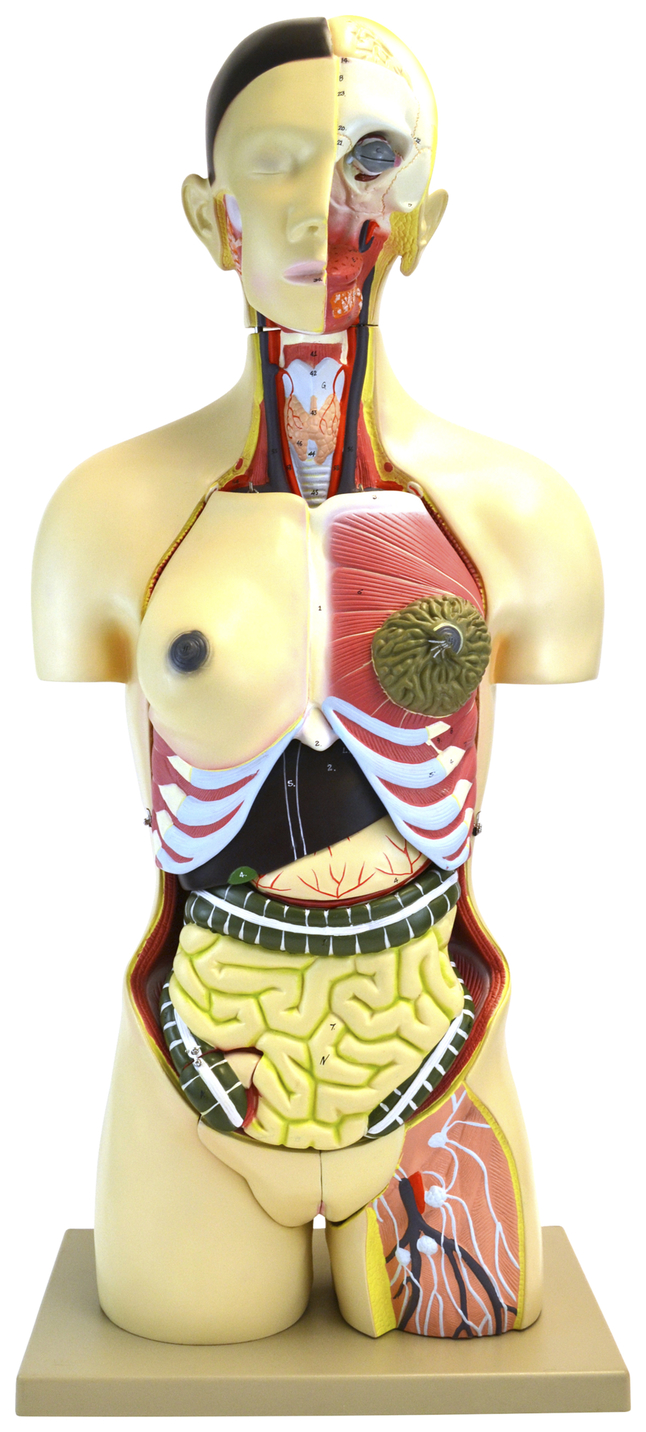 Lab and Anatomical Models, Item Number 2011712