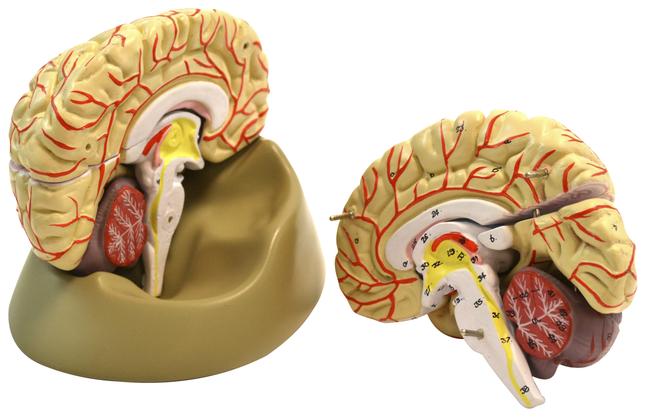 Lab and Anatomical Models, Item Number 2011713