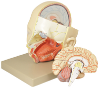 Lab and Anatomical Models, Item Number 2011714
