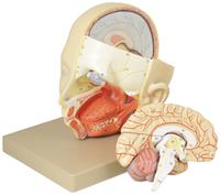 Lab and Anatomical Models, Item Number 2011714