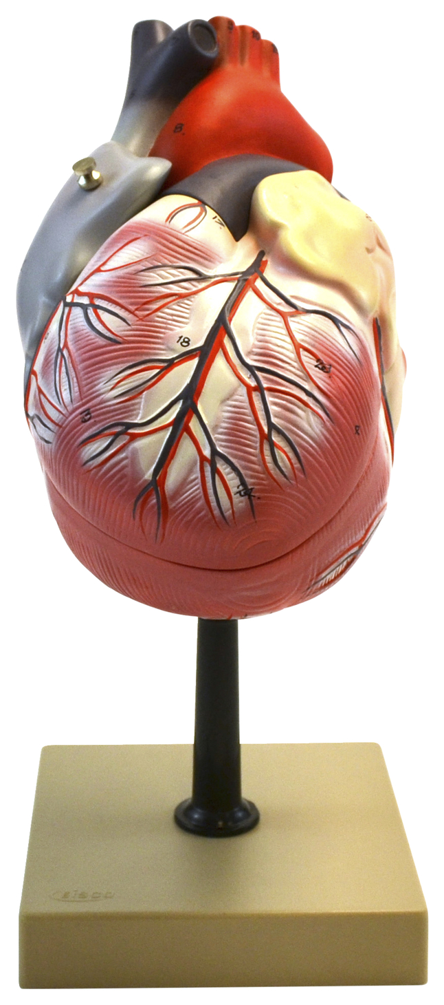 Lab and Anatomical Models, Item Number 2011719