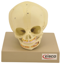 Lab and Anatomical Models, Item Number 2011720