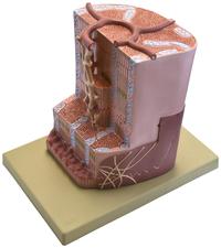 Lab and Anatomical Models, Item Number 2011723