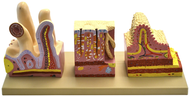 Lab and Anatomical Models, Item Number 2011724