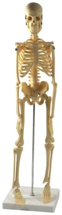 Lab and Anatomical Models, Item Number 2011725