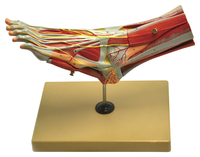 Lab and Anatomical Models, Item Number 2011726