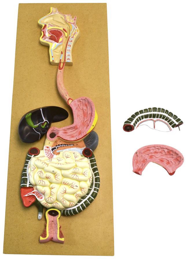 Lab and Anatomical Models, Item Number 2011727