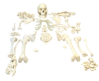 Lab and Anatomical Models, Item Number 2011737