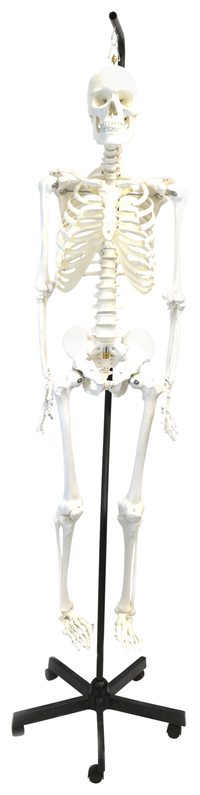 Lab and Anatomical Models, Item Number 2011738