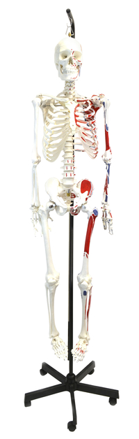 Lab and Anatomical Models, Item Number 2011739