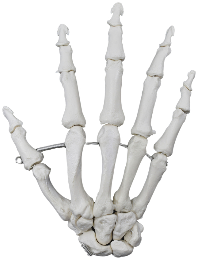 Lab and Anatomical Models, Item Number 2021662