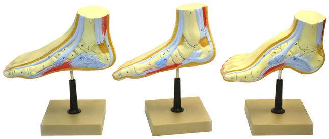 Lab and Anatomical Models, Item Number 2021741
