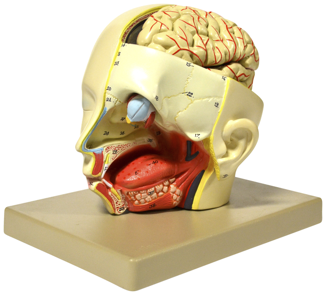 Lab and Anatomical Models, Item Number 2021797