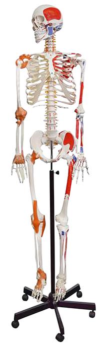 Lab and Anatomical Models, Item Number 2040015
