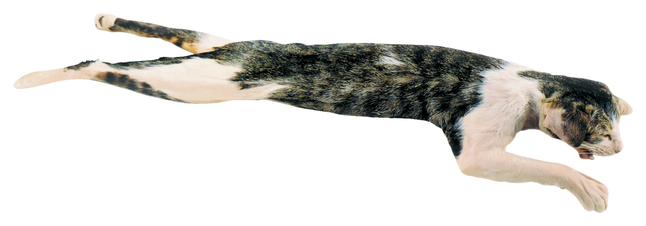 Image for Frey Choice Preserved Cat - Triple Injected - Skinned - 18 inches from School Specialty