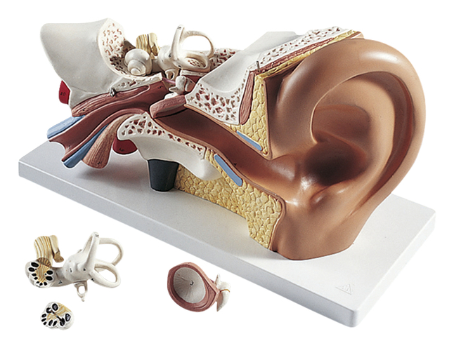 Lab and Anatomical Models, Item Number 562987