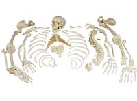 Lab and Anatomical Models, Item Number 562993