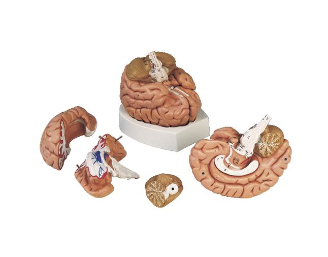 Lab and Anatomical Models, Item Number 563206