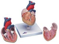 Lab and Anatomical Models, Item Number 576422