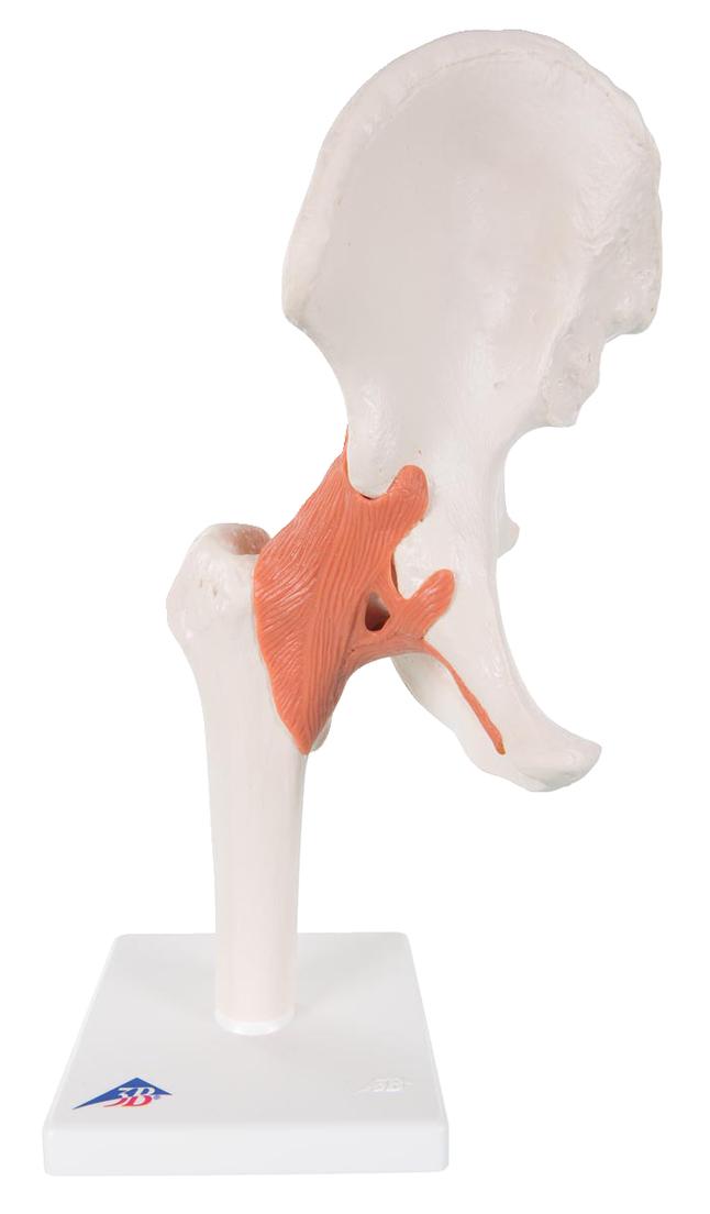 Lab and Anatomical Models, Item Number 576428
