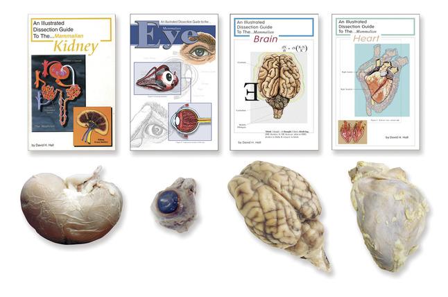 Preserved Specimen - Mammals, Item Number 598008
